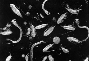 plankton (1)